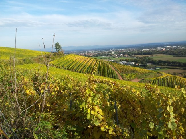 Vignoble de la Côte 425 entre Cernay et Vieux-Thann